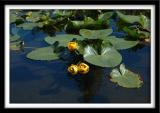 Lilypads and Flowers