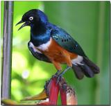 Superb Starling - after the rain
