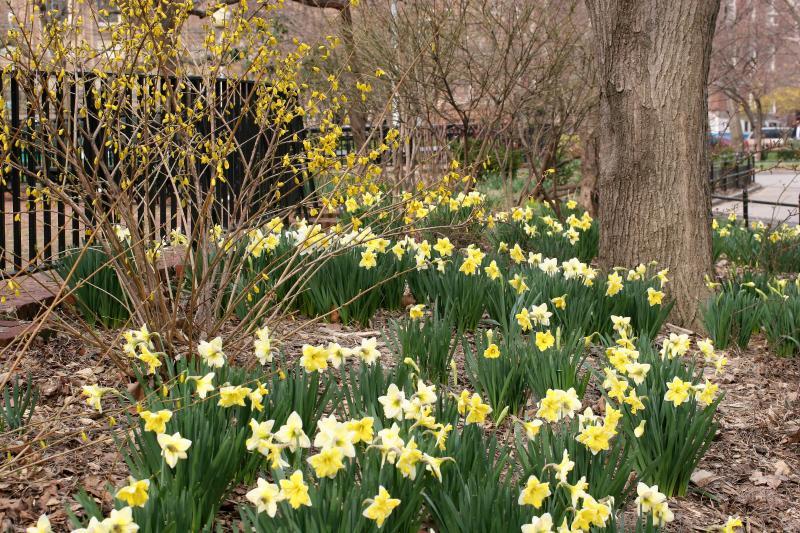 Daffodils & Forsythia