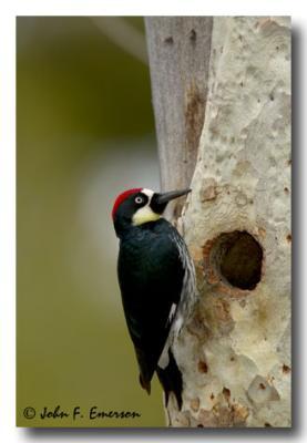 Acorn Woodpecker, Male