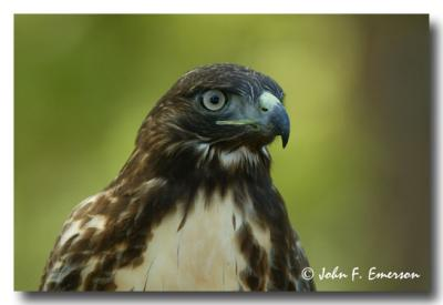 Red-Tail Hawk, Juvenile (C)