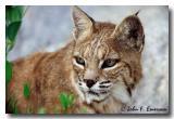 Bobcat (C)
