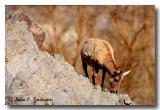 Sierra Bighorn (C)