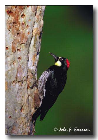Acorn Woodpecker, Female