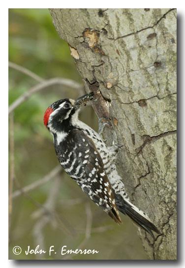 Nuttalls Woodpecker, Male