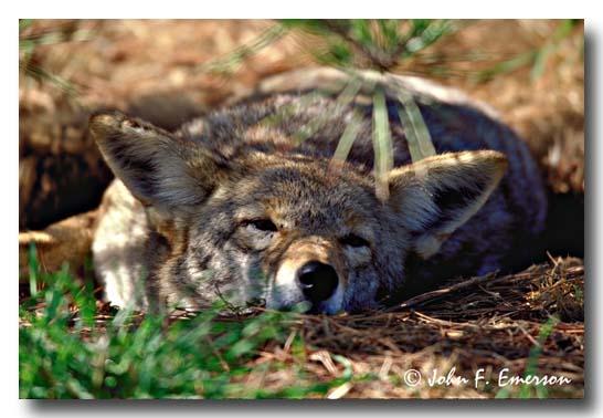 Coyote (C)