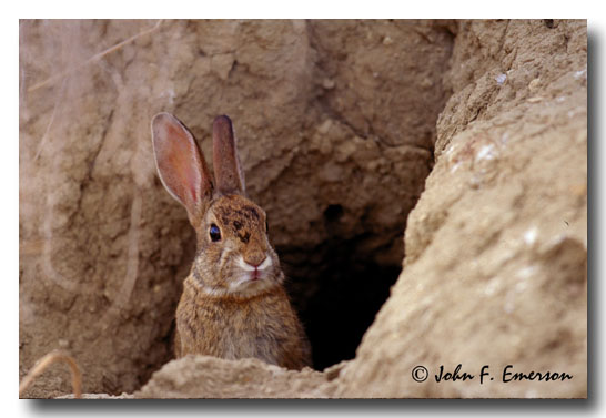 Common Hare