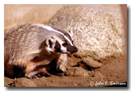 Badger (C)