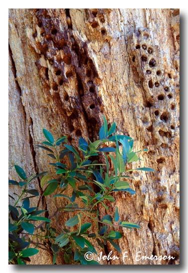 Acorn Woodpecker Holes