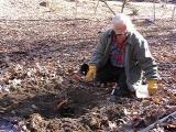 John Brown, planting Magnolia 'Daybreak'