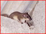 Edible  Dormouse,  (Glis - glis)