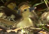 Baby Duck 5x7 From DSC_5119 copy.jpg