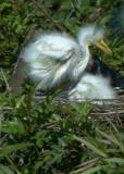 Baby egrets 5x7 From DSC_4767 copy.jpg