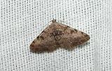 Faint-spotted Angle (Semiothisa ocellinata)