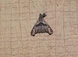 Dark Spotted Palthis (Palthis angulalis) [Noctuidae , Herminiinae]