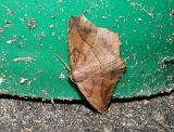 Large Maple Spanworm Moth (Prochoerodes transversata)