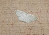 probable Soft Lined Wave (Scopula inductata) [Geometridae , Sterrhinae , Scopulini]