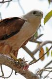 Brahminy Kite 