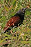 Philippine Coucal  (a Philippine endemic)   Scientific name - Centropus viridis   Habitat - Common from grasslands to forest up to 2000 m.   [400 5.6L + Tamron 1.4x TC, 560 mm, hand held]