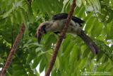 Luzon Hornbill  (a Philippine endemic, Male)   Scientific name - Penelopides manillae   Habitat - Forest and edge up to 1500 m.   [400 5.6L + Tamron 1.4x TC, 560 mm, hand held]