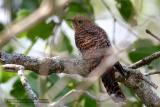 Oriental Cuckoo  (a hepatic female)   Scientific name - Cuculus saturatus   Habitat - Uncommon in forest and edge.   [400 5.6L + Tamron 1.4x TC, 560 mm, on tripod]