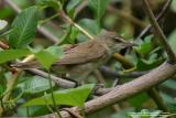 Clamorous Reed-Warbler   Scientific name - Acrocephalus stentoreus   Habitat - Uncommon, in tall grass, bamboo thickets in open country, and in reed beds where it sings from cover.   [Sigma 300-800 DG]