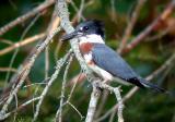 belted-kingfisher-4933.jpg