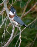 belted-kingfisher-4934.jpg