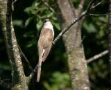 black-billed-cuckoo-4769.jpg