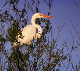Egret in a Tree 2887