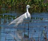 Great Egret at Fence