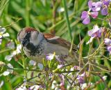 House Sparrow Closeup