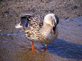 Ever see a coy duck.jpg(281)