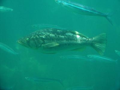 Shiny fish