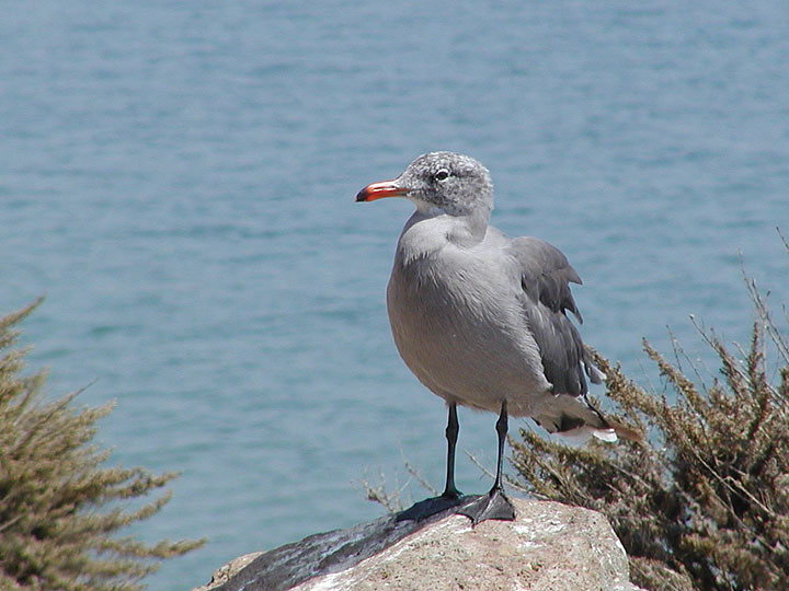 Photographers dream, neutral gray seagull