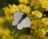 Margined White (Pieris marginalis marginalis)