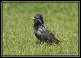 Common Starling 1