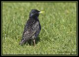 Common Starling 4