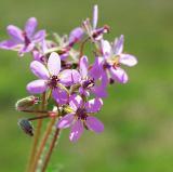 Birdfoot Violet (Wildflower)