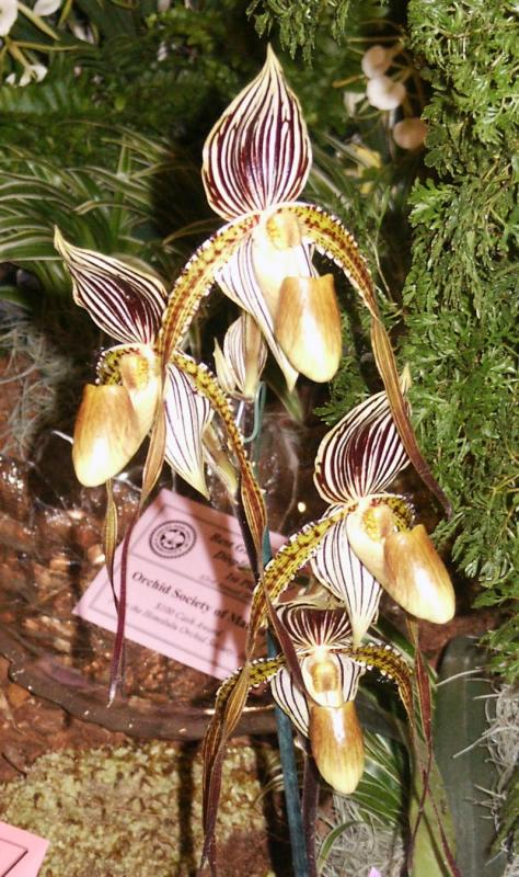 Lady Slipper (Paphiopedilum)