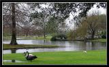 Swans out of water in the rain