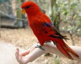 Red-Lorikeet_0697.jpg