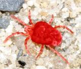 Trombidiidae - Velvet Mites