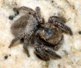 Habronattus viridipes (female)