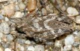 Ornate Pygmy Grasshopper - Tetrix ornata