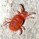 Velvet Mite - Allothrombium sp.
