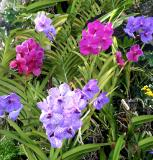 Plaid [vanda] orchids!