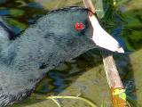 Coots/Grebes/Moorhens