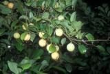Growing Nutmeg and Mace