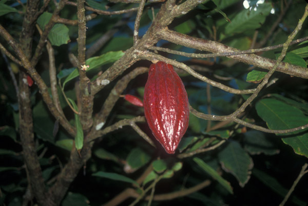 Growing Cocoa